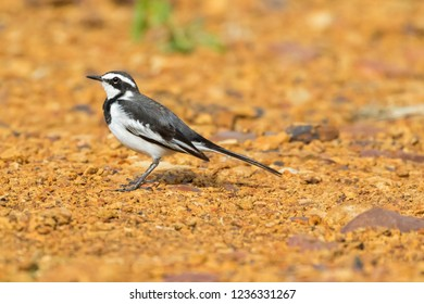 Young African Pied Wagtail bird in grey black white on ground at Serengeti National Park in Tanzania, East Africa (Motacilla aguimp)