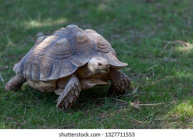 A young African spurred tortoise walking across a green lawn in spring.