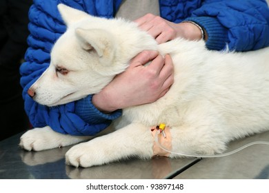 Young Akita dog with anesthetic syringe before veterinary surgery