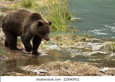 Young Alaskan Brown Bear looking for salmon, Chilkoot River, Haines, Alaska