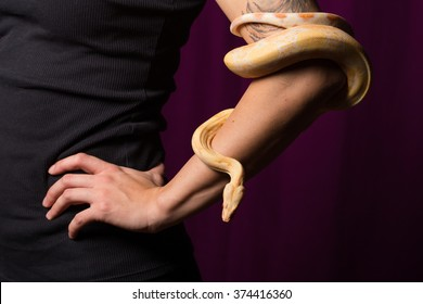 Young albino boa constrictor wrapped around girl's arm