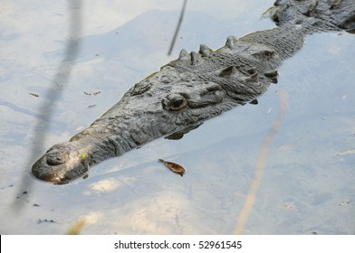 Young alligator lurking in the edge of the water in a Florida zoo.