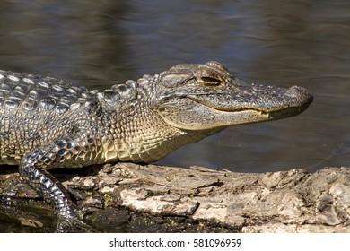 Young alligator taking of sun bath
