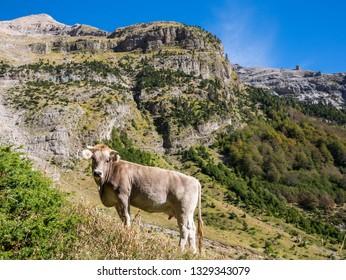 "Young alpine cow in the area of ""Balcon de Pineta"" in the Pineta Valley in the Pyrenees, Bielsa, Huesca, Aragon, Spain"