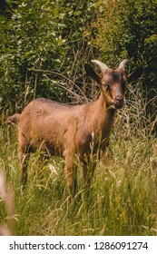Young alpine goat grazing on a pasture and looking at a camera - Organic goat dairy farm