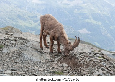 Young Alpine Ibex in Italian Alps. Animal in the stone nature habitat (High-Valsesia Natural Park)