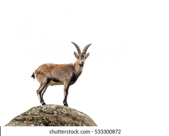 Young alpine ibex male on the top of the mountain isolated on white background