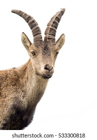 Young alpine ibex male portrait isolated on white background