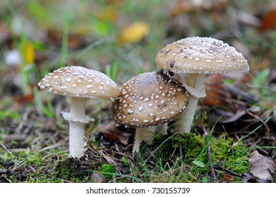 A young Amanita Pantherina, also called panther cap or false blusher, in a woods' natural ambient