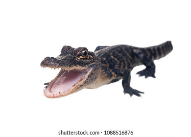 A young American alligator with open mouth full length. Isolated on white background