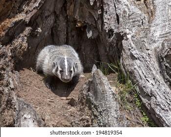 Young American badger cub