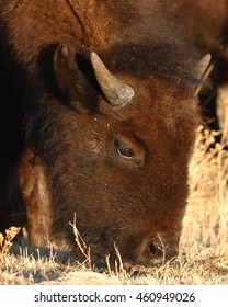 A young American Bison feeding on winter grasses in a South Dakota meadow.