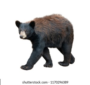 Young American Black Bear isolated on white background