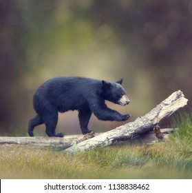 Young American Black Bear walking on a log
