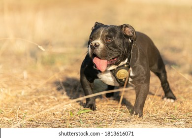 Young american black and white bully outdoor