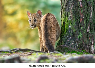Young american cougar creeps through the woods