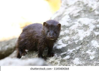 Young american mink looking for food on the shores of the river.Naturaly environment around the East Twin River in Wisconsin