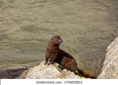 Young American mink on the shore of the lake