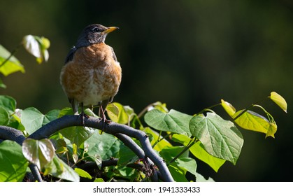 Young American Robin On a Limb With Leaves and Simple Background