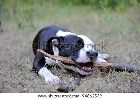 Young american staffordshire terrier gnaws stick