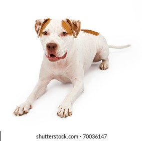 A young American Staffordshire Terrier laying down and isolated on white