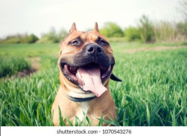 Young american staffordshire terrier on a grassy meadow