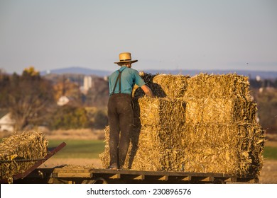 Young amish farmer stacking haybales on wagon in field at sunset.