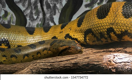 Young Anaconda on a branch