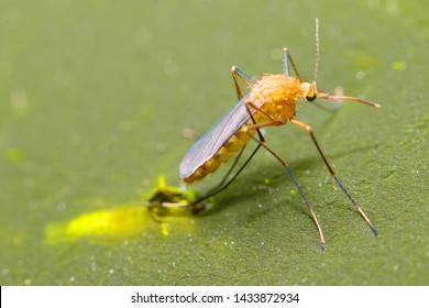 Young Anopheles mosquito drying wings on swamp surface. Dangerous pest, vehicle of zika, dengue, chikungunya, malaria and other infections.  Insect closeup.