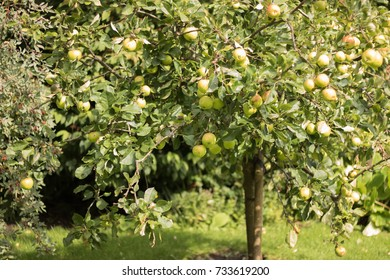 Young apple tree with green apples grows on a sunny edge.