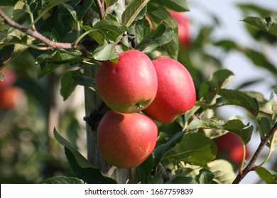 Young apples on the apple tree
