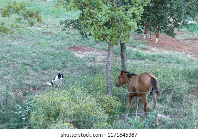 Young Arabian Horse on the Meadow, Face to Face With Watchdog. Beautiful Brown Horse
