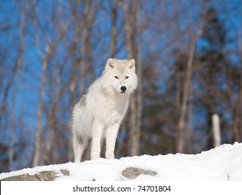 Young Arctic wolf in natural environment during winter