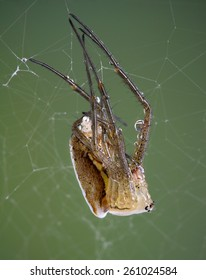 A young argiope spider is shedding its skin.