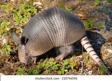 Young Armadillo Digging for Insects