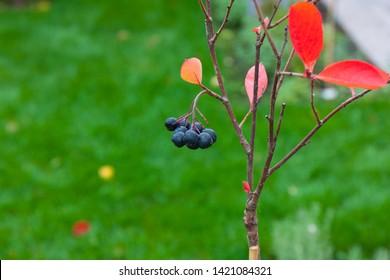 young aronia bush in fall garden. (Aronia melanocarpa, Black Chokeberry) growing in the garden. First harvest