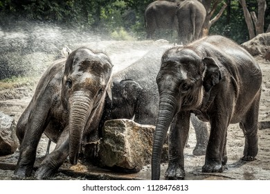 Young Asian elephants play with each other and enjoy the water