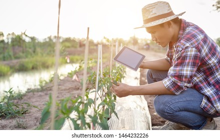Young Asian farmer using tablet and checking his plant or vegetable (Chilli tree). Technology for Smart farmer concept