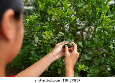 Young asian girl holding lime on a lime tree with a shallow depth of field