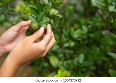 Young asian girls hand cupping lime on a lime tree