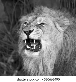 Young asian lion shows his huge fangs, resting in forest shadow. Square image. The King of beasts, biggest cat of the world. The most dangerous and mighty predator of world. Black and white image.