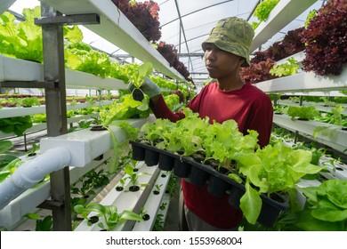 Young Asian Malaysian farmer planting vegetable using modern farming technique. The farm produce fresh organic vegetable grown using aquaponic or hydroponic farming.