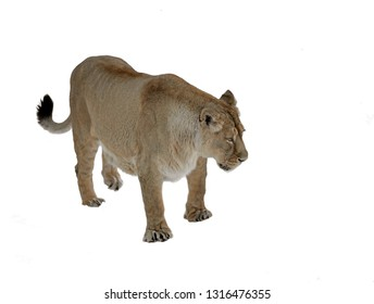 Young Asiatic lioness (Panthera leo persica) on white background