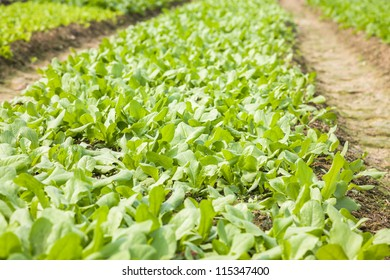 young asparagus lettuce growing in the field