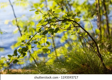 Young aspen tree in warm sunlight