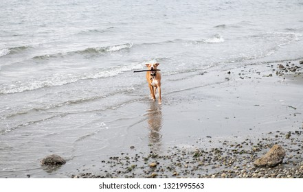 Young Athletic Dog of Mixed Breed Enjoying Off Leash Time on Winter Beach