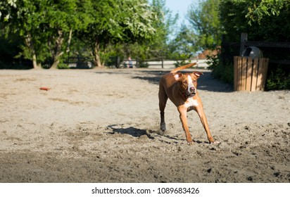 Young Athletic Dog Playing at Off-Leash Park