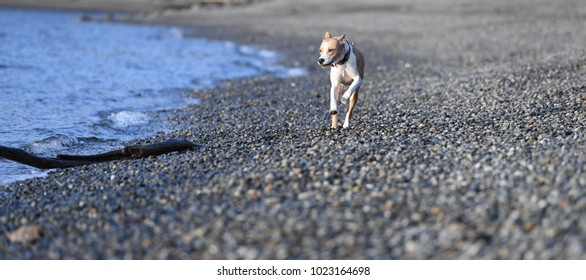 Young Athletic Dog Running Off-Leash on Beach
