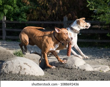 Young Athletic Dogs Playing at Off-Leash Park