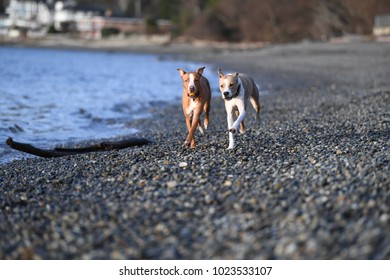 Young Athletic Dogs Running Off-Leash on Beach
